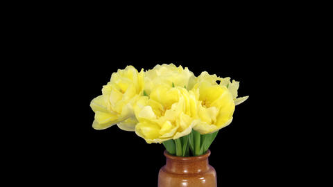 Time-lapse opening yellow tulip bouquet with ALPHA matte 11 Stock Video Footage