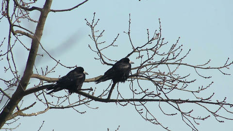 Ravens on tree 16 Stock Video Footage