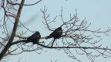 Ravens on tree 16 Footage