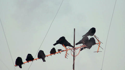 Ravens on tree 20 Stock Video Footage
