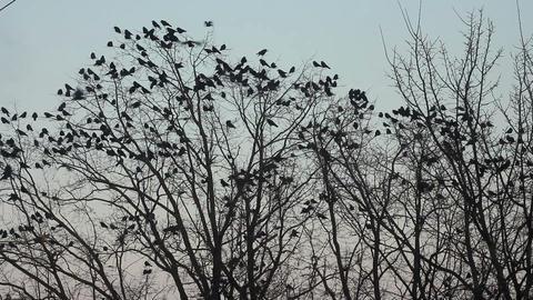 Ravens on tree 24 Stock Video Footage