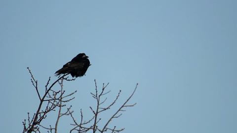 Ravens on tree 26 Stock Video Footage