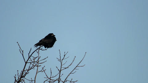Ravens on tree 26 Stock Video Footage