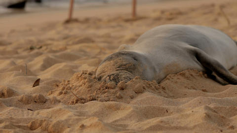 Sleeping sandy Monk seal Stock Video Footage
