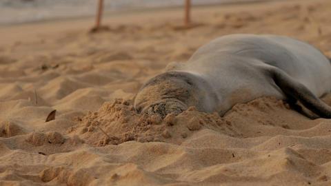 Sleeping sandy Monk seal Stock Video Footage
