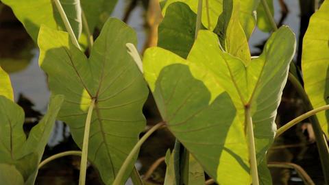 Taro plants cu2 Stock Video Footage