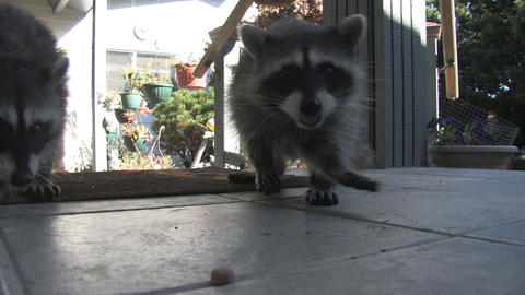 Raccoons Stock Video Footage