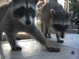 Raccoons stock footage