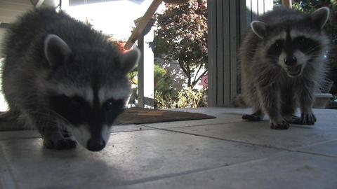 Raccoons Stock Video Footage