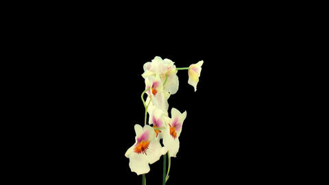 Stereoscopic 3D of rotating seemless looping orchid... Stock Video Footage