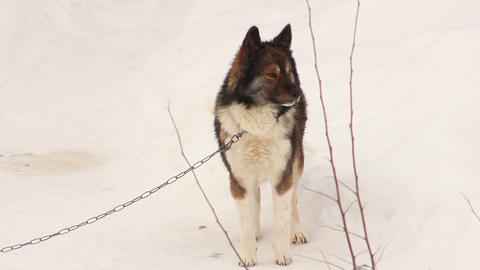 Dog on snow Stock Video Footage