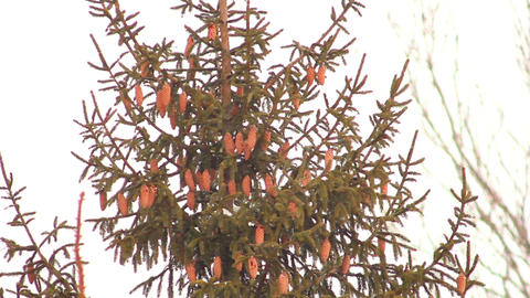 Spruce with cones 1 Stock Video Footage