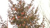 Spruce With Cones 1 stock footage