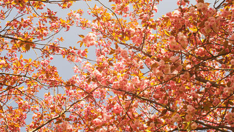 Many Beautiful Japanese Cherry Trees Blossoming In Spring At The Museumplein In stock footage