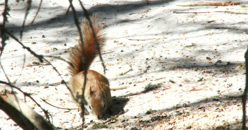 Red squirrel eating nuts in winter Footage