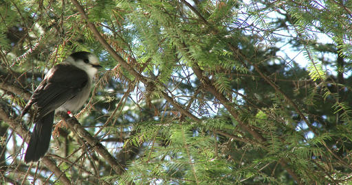 Gray jay resting on a pine tree branch Footage