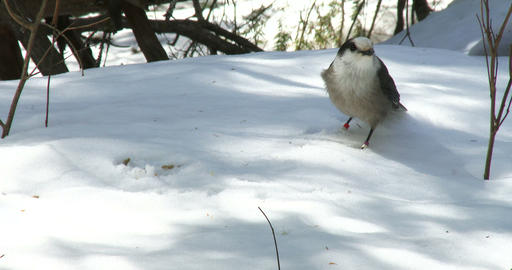 Gray jay eating seeds on the snow, then flying away Footage