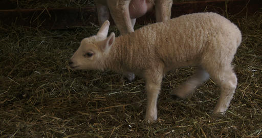 Small lamb living in barn Footage