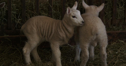 Small lambs living in a barn ภาพวิดีโอ