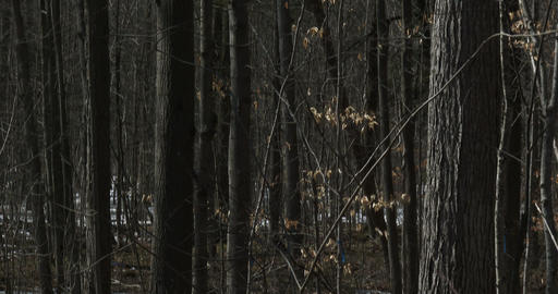 Sugar bush during maple syrup harvest season Footage