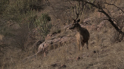 Sambar Deer(Cervus unicolor) being alert Footage