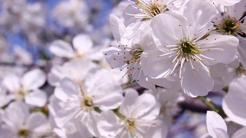 Blossom Apricot Tree stock footage