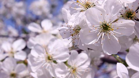 Blossom apricot tree Footage