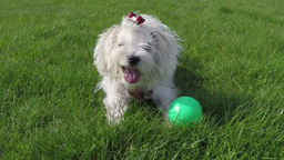 Maltese Dog Playing stock footage