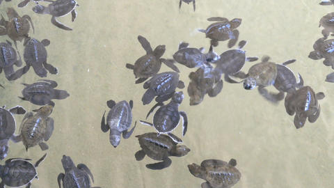 Baby turtles swimming in Turtle Hatchery Footage