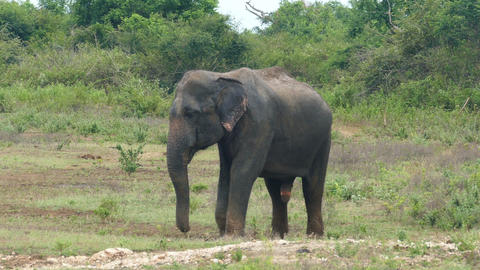 wild indian elephant walking Footage
