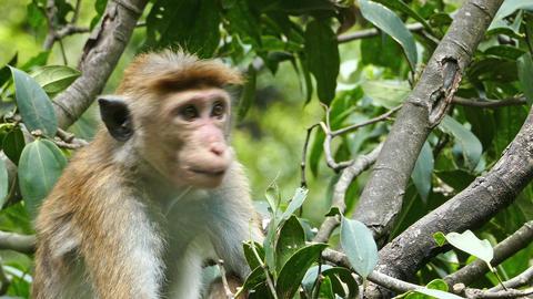 Monkey macaque sitting on tree in Sri Lanka Footage