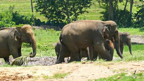 Group of Elephants walking in Sri Lanka Footage