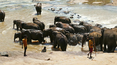 Elephants at Pinnawala Elephant Orphanage in Sri Lanka Footage