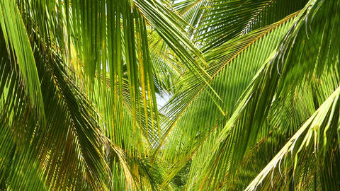 coconut palm leaves Footage