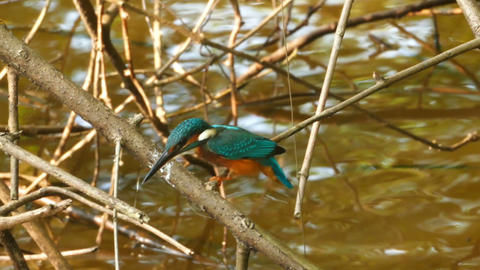 Kingfisher bird on branch of tree Footage