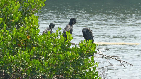 Great Cormorants on tree spreading wings Live Action