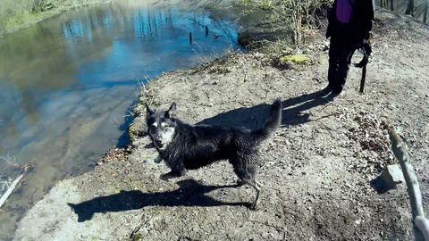 Dog retrieving a Stick out of the Water Live Action