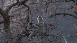 Hanuman langur (Semnopithecus entellus) eating orange flowers Footage