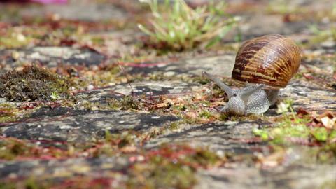 Comum Garden Snail (Species: Helix aspersa or Cornu aspersum) crawling E Footage