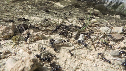 Many ants walking walking around a hole; fir needles dropping Footage