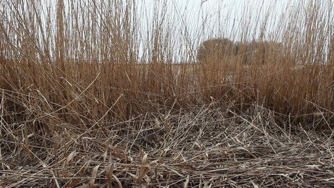 Dry reeds in the wind Footage