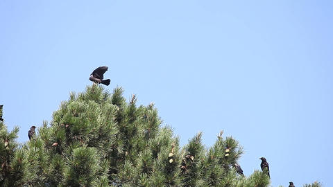 crows in a pine tree Footage