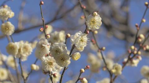 White Plum Flowers,in Kogani Park,Tokyo,Japan,Filmed In 4K stock footage