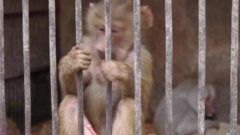Monkeys in Scientific Apery 4 Live Action