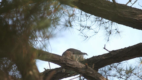 hawk in pine having a meal Live Action