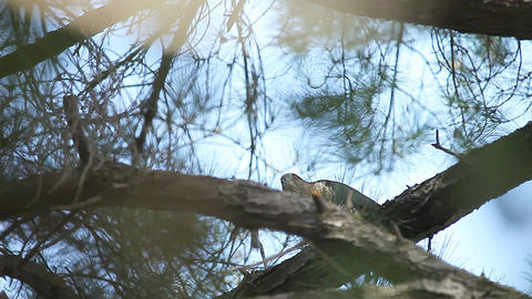 hawk plucking prey in tree Live Action