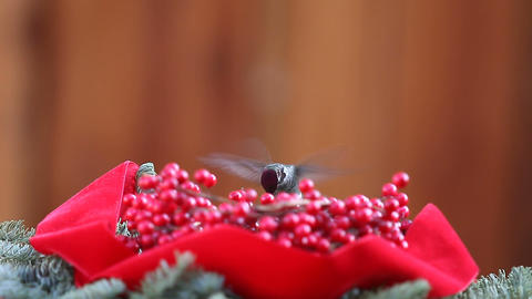 Hummingbird With Christmas Berries stock footage
