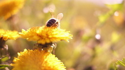 Bee On Dandelion Through Grass With Blur Footage