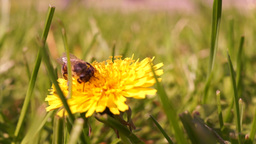 Bee On Dandelion Through Grass Footage