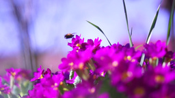 Bumble Bee Slow Motion Footage